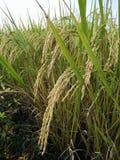 Oro del riso del campo in Tailandia Fotografia Stock Libera da Diritti