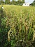 Oro del riso del campo in Tailandia Fotografia Stock