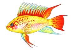Oro del viejita de Apistogramma Pescados del acuario Ilustración de la acuarela libre illustration