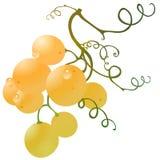 Oro dell'uva Immagini Stock