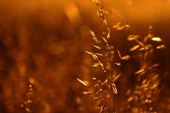 Oro di estate Fotografia Stock Libera da Diritti