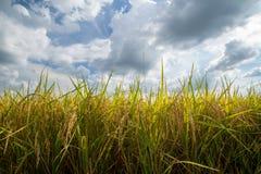 Oro e cielo del giacimento del riso Fotografie Stock Libere da Diritti