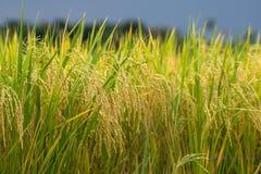 Oro e cielo del giacimento del riso Immagine Stock