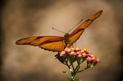 Oro e farfalla marrone Immagine Stock