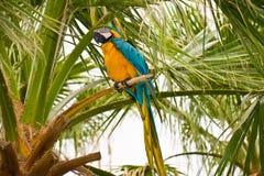 Oro e Macaw blu fotografia stock