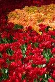 Oro e tulipano rosso Fotografia Stock
