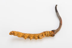 Oro himalayan Nepal de Yartsa Gunbu del sinesis de Yarsagumba Cordyceps en el fondo blanco Imagen de archivo
