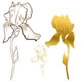 Oro Iris Flower Fotos de archivo libres de regalías