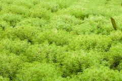 Oro Moss Sedum Imagenes de archivo