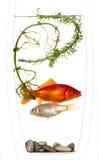 Oro y pescados de plata atrapados en un florero Foto de archivo