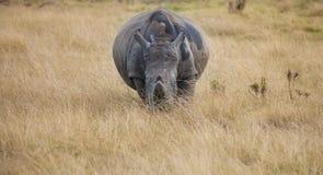 Orologi bianchi incinti di rinoceronte dall'erba alta Fotografia Stock