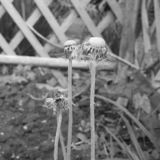 Orologi in bianco e nero del dente di leone fotografia stock libera da diritti