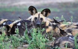 Orologi dei cani selvaggi Fotografie Stock