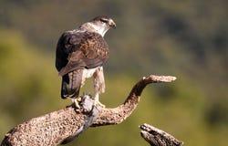 Orologi del ` s Eagle di Bonelli dal suo locandiere Fotografie Stock