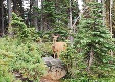 Orologi della daina dei cervi muli dagli alberi Immagini Stock