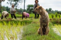 Orologi di un cane sopra gli agricoltori cambogiani del riso Immagine Stock
