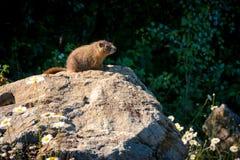 Orologi selvaggi curiosi di gopher da alcune rocce immagini stock