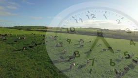 Orologio e un campo con le mucche video d archivio