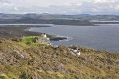 Orologio irlandese di allevamento di pecore sopra l'oceano Immagine Stock