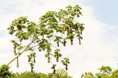 Oropendola Birds Nests Royalty Free Stock Photo
