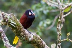 Oropendola in Costa Rica lizenzfreie stockfotos