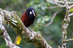 Oropendola in Costa Rica stockfoto