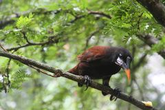 Oropendola di Montezuma, Costa Rica Immagini Stock