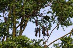 Oropendola nests in Costa Rica Stock Images