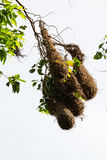 Oropendola nests in Costa Rica Stock Photography