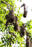 Oropendola nests in Costa Rica Royalty Free Stock Photography