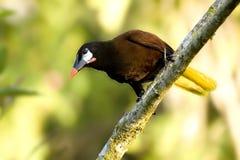 Oropendula bird. An Oropendula (Zarhynchus wagleri) birds in Costa Rica Royalty Free Stock Images