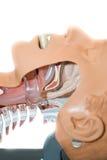 Oropharyngeal Rohr benutzt, um die Fluglinie zu öffnen Stockfotos
