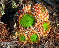 Orostachys spinosa Royalty Free Stock Image