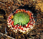 Orostachys spinosa Stock Images