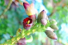 Oroxylum-indicum Blume Stockbild