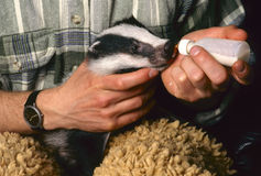 Orphan badger gets milk Royalty Free Stock Photography