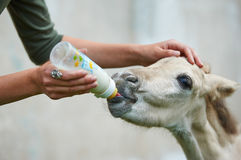 Orphan foal drinking milk. From the bottle Royalty Free Stock Photography
