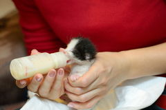 Orphan kitten drinking milk Royalty Free Stock Photography