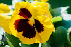 Orphan ring. Multicolor pansy flower, flowering spring sunny day Stock Images