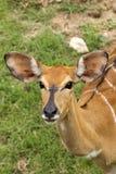 Orphan Whitetail Deer Stock Image