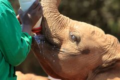 Orphan young elephant receiving his Breakfast stock image
