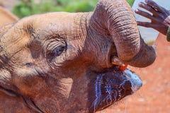 Orphaned African Elephant Dribbling Milk Royalty Free Stock Image