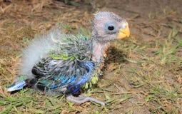 Orphaned baby Australian Rosella Royalty Free Stock Image