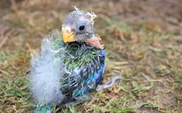 Orphaned baby Australian Rosella Stock Photography