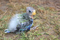 Orphaned baby Australian Rosella Royalty Free Stock Photos