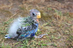 Orphaned baby Australian Rosella Stock Images