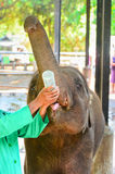 Orphaned Baby Elephant Being Feed With Milk Royalty Free Stock Photos
