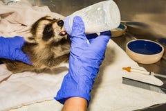 Feeding A Baby Raccoon Stock Photography