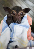 Orphaned Baby Spectacled Flying Fox Fruit Bat stock photography