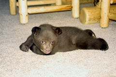 Orphaned Bear Cub Stock Photos